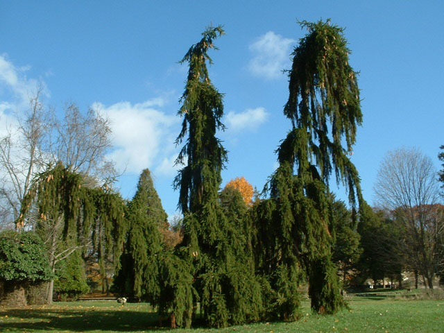 Weeping Norway Spruce Care Tree