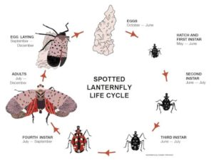 Pest Alert The Spotted Lanternfly Has Been Found In